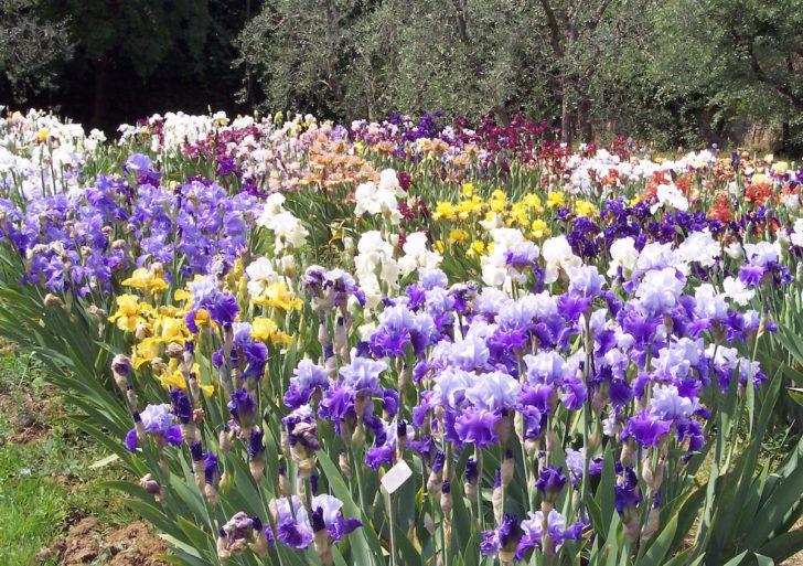 Giardino dell'Iris ospita quasi 2mila varietà di Iris ibride