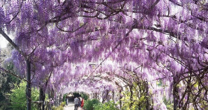 La fioritura del glicine nel giardino di Villa Bardini